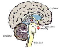 HCG and the The general functions of the hypothalamus are of extreme importance